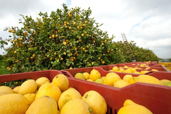Risultati immagini per filiera limone