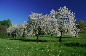 A Pecetto la ciliegia èregina
