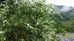 L'olivo in Piemonte