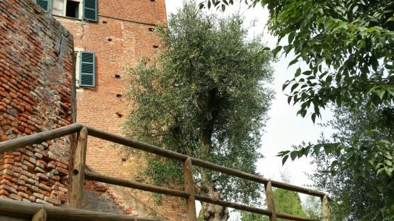 Monteu Roero - Olivo storico del castello