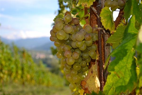 Consorzio Tutela Vini Colli Tortonesi (3)