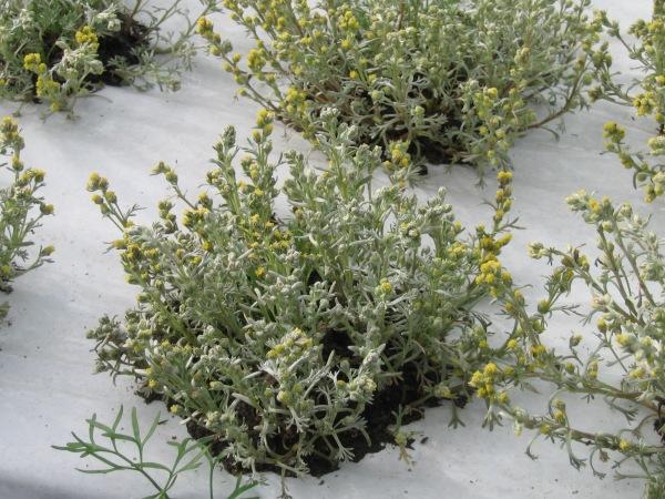 genepi-fiorito-campi-di-stroppo