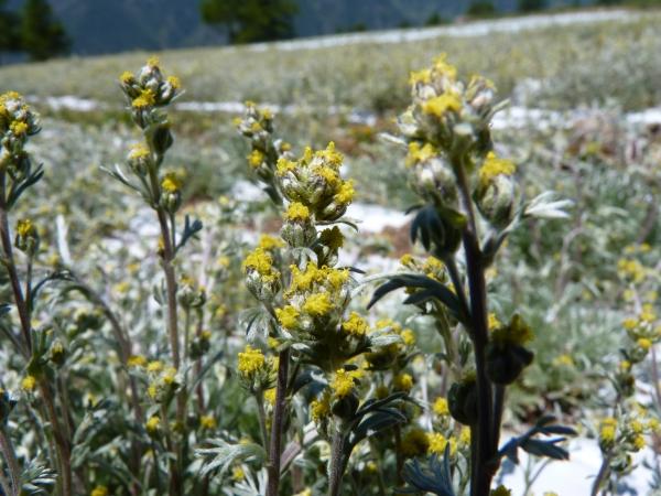 steli-di-genepi-fiorito-2