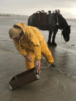 La pesca dei gamberetti grigi con i cavalli in mare nelle Fiandre Occidentali